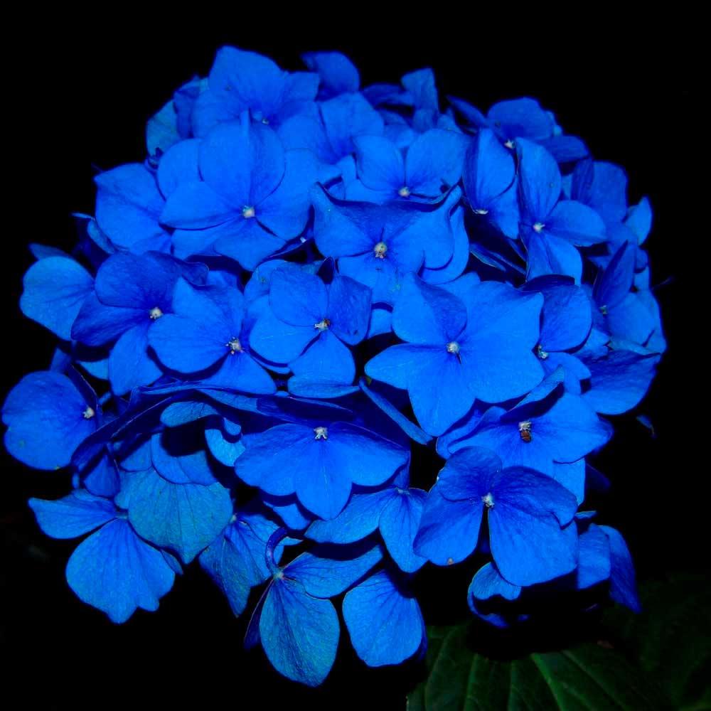 Flor en Planta Hortensia Azul