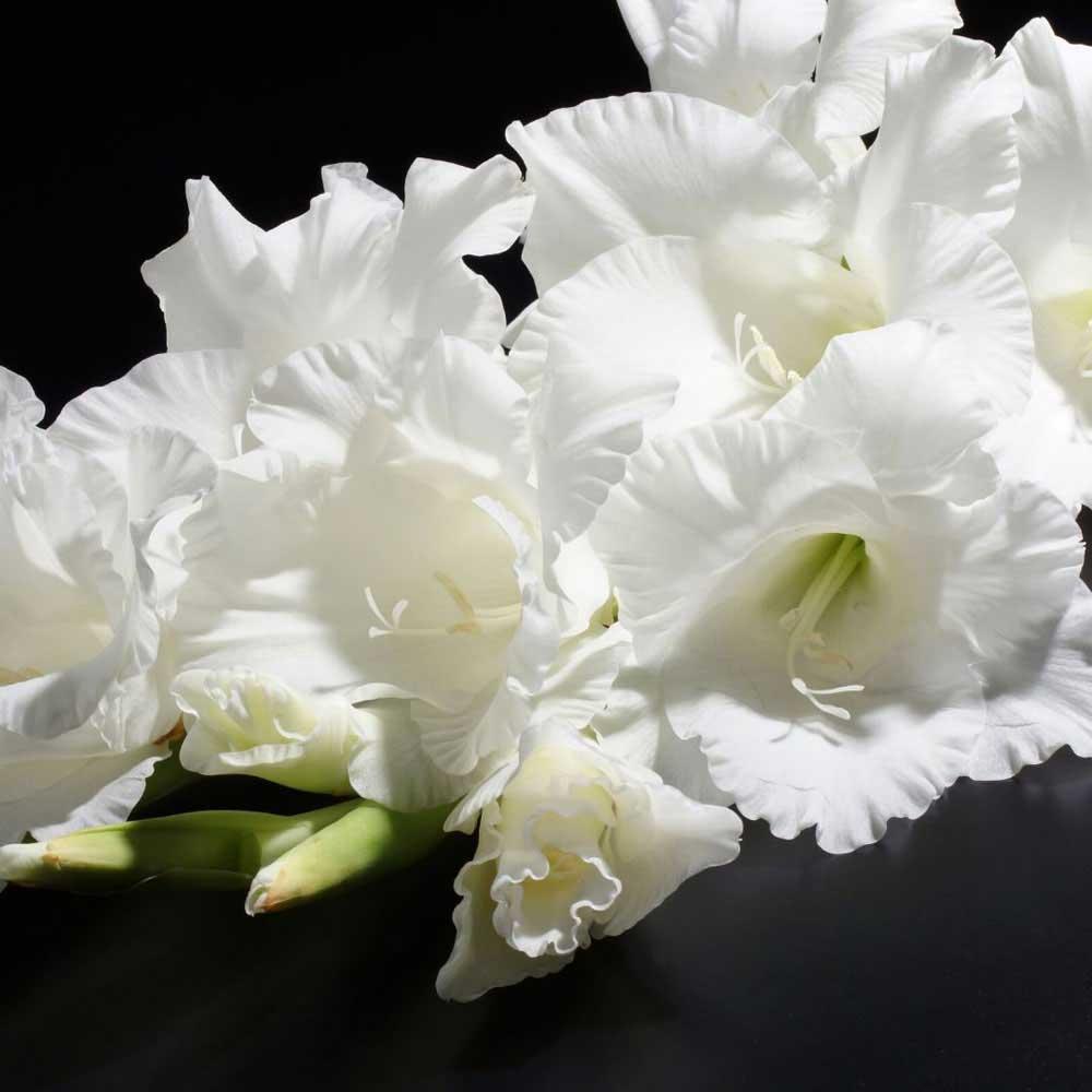 Gladiolas Blancas