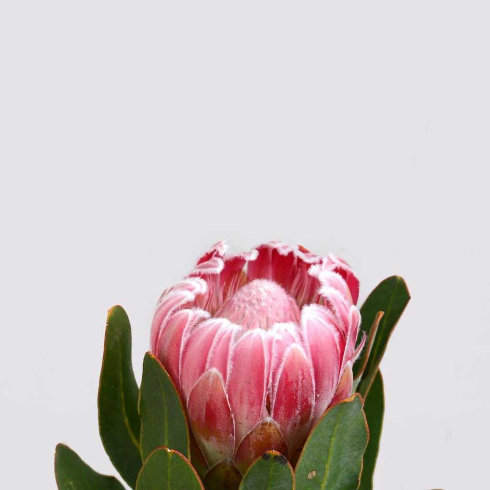 Protea Ice