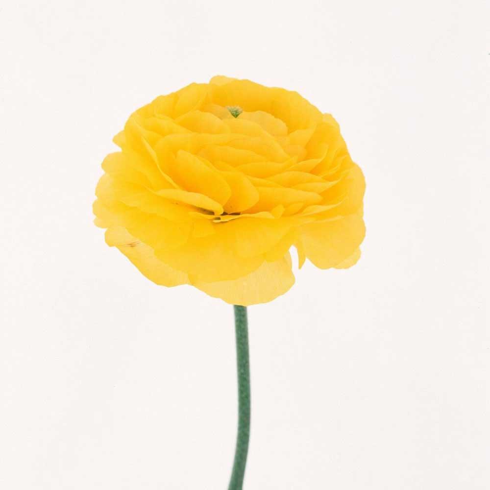Ranunculus Amarillos