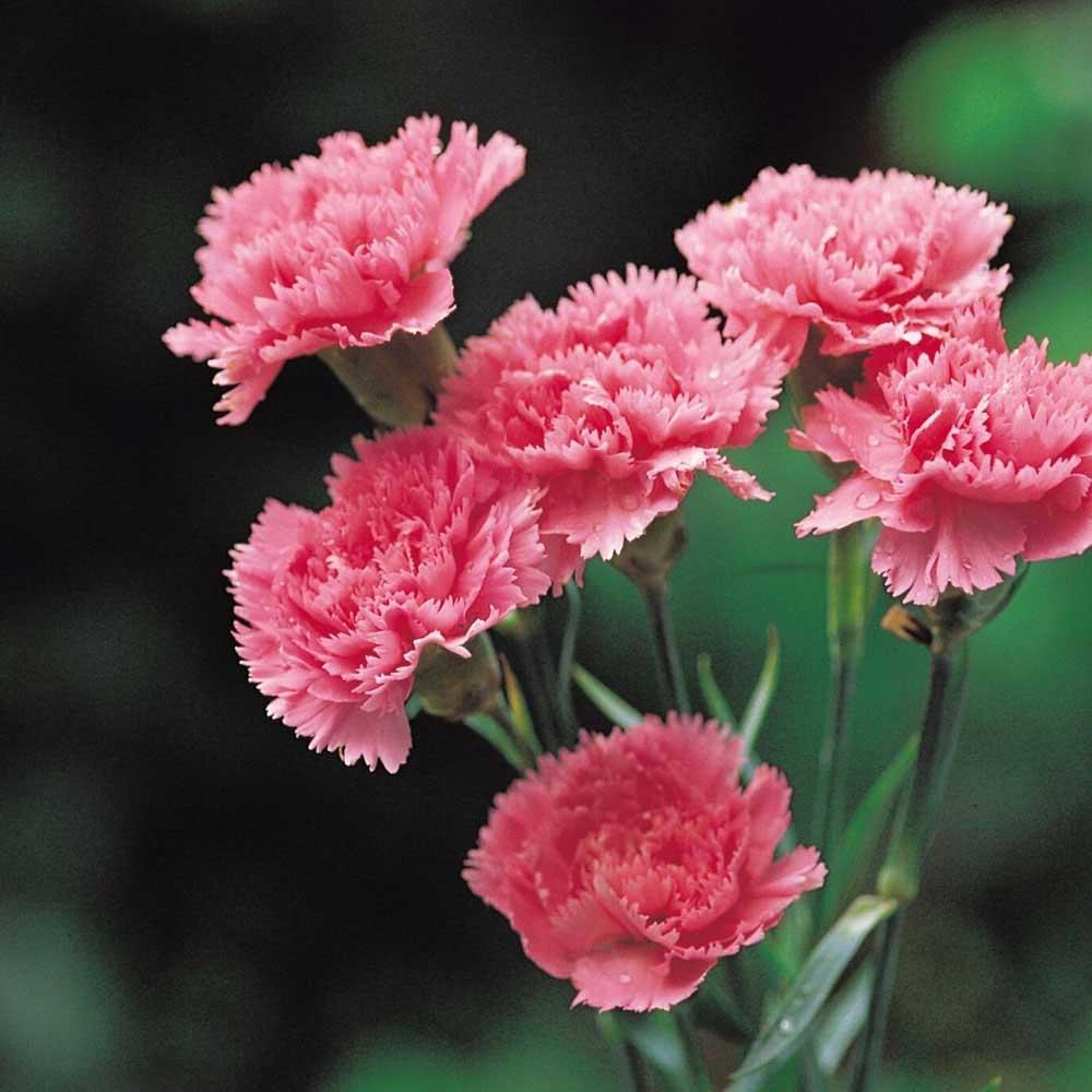 10 Flores Claveles Rosa