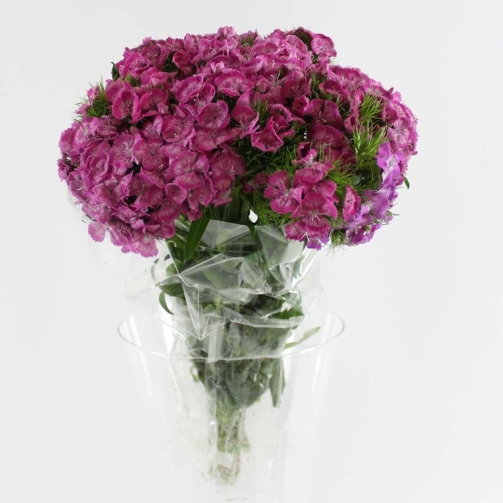 10 Flores Dianthus Rosa