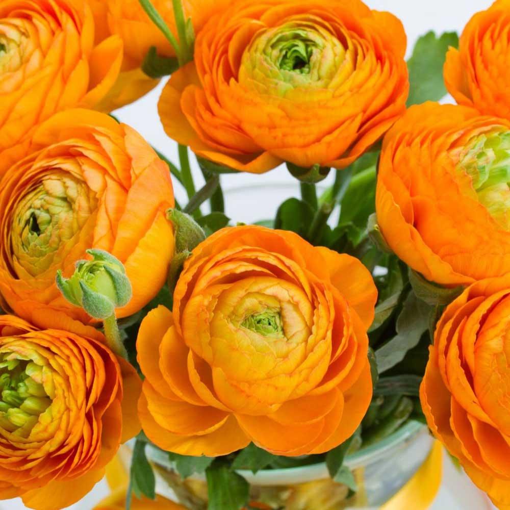 10 Flores Ranunculus Naranja